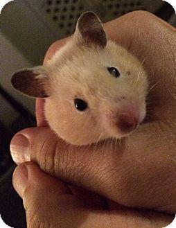Hamster for adoption in Bensalem, Pennsylvania - Caramella