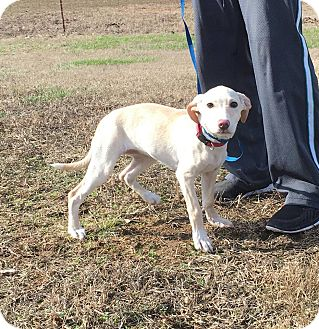 Labrador Retriever/Beagle Mix Puppy for adoption in Hagerstown, Maryland - Ivory
