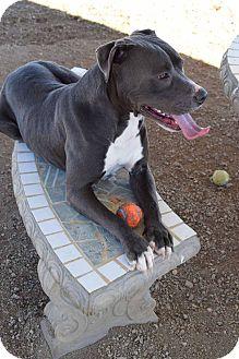American Staffordshire Terrier Mix Dog for adoption in Sierra Vista, Arizona - Yuri