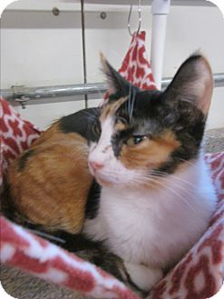 Calico Cat for adoption in Battle Creek, Michigan - Mimsy