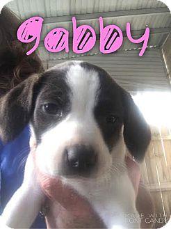 Beagle Mix Puppy for adoption in Garden City, Michigan - Gabby
