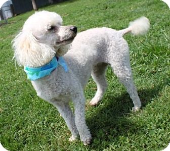 Miniature Poodle Dog for adoption in Newark, New Jersey - Stormy