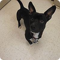 Adopt A Pet :: Harley - Chambersburg, PA