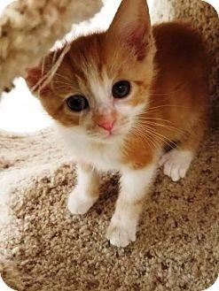 Domestic Shorthair Kitten for adoption in Kalamazoo, Michigan - Toffee
