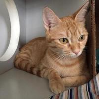 Domestic Shorthair/Domestic Shorthair Mix Cat for adoption in Alpine, Texas - Jillian