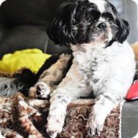 Shih Tzu Dog for adoption in Springfield, Virginia - Snoopy