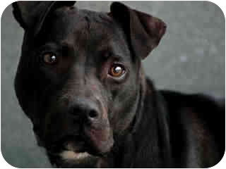 Staffordshire Bull Terrier Mix Dog for adoption in Long Beach, New York - Lady Mellow