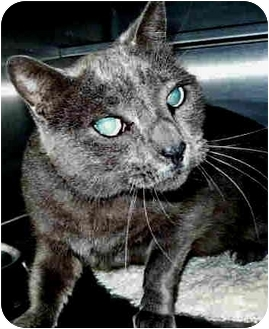 Domestic Shorthair Cat for adoption in San Clemente, California - BLUE MOON