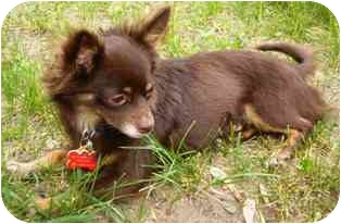 Chihuahua Dog for adoption in Osseo, Minnesota - Riley