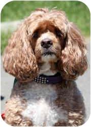 Cockapoo Dog for adoption in Tacoma, Washington - Sugar
