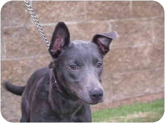 American Pit Bull Terrier Mix Puppy for adoption in El Cajon, California - Jack