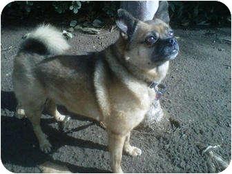 Pug/Pomeranian Mix Dog for adoption in San Marcos, California - Maverick