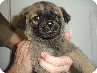 German Shepherd Dog Mix Puppy for adoption in Old Bridge, New Jersey - Indigo