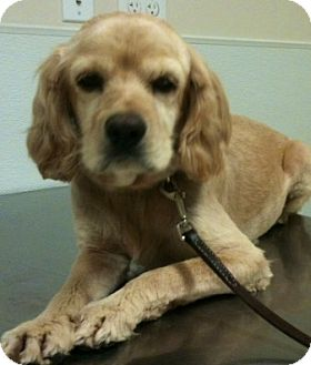 Cocker Spaniel Dog for adoption in Scottsdale, Arizona - Phoebe