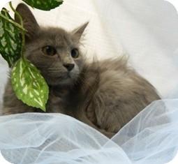 Domestic Shorthair Cat for adoption in Columbus, Nebraska - Aries