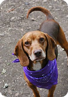 Beagle Mix Dog for adoption in Baton Rouge, Louisiana - Patrick