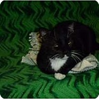 Adopt A Pet :: Mr. Boots - Hamburg, NY