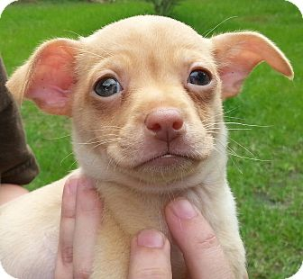 Chihuahua Mix Puppy for adoption in Orlando, Florida - Chippy#2M