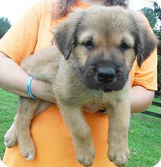 German Shepherd Dog/English Pointer Mix Puppy for adoption in Chapel Hill, North Carolina - Sven