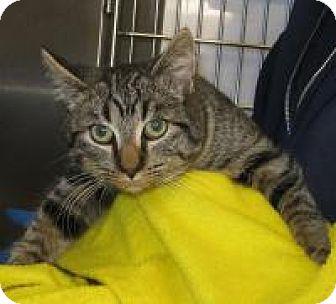 Domestic Shorthair Cat for adoption in Mineral, Virginia - Maximillian