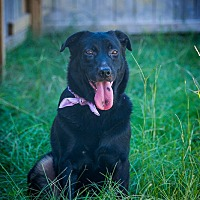 Labrador Retriever/German Shepherd Dog Mix Dog for adoption in Jackson, Mississippi - Beyonce