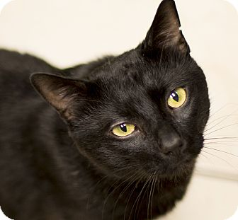 Domestic Shorthair Cat for adoption in Chicago, Illinois - Satchmo
