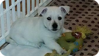 Westie, West Highland White Terrier Puppy for adoption in Omaha, Nebraska - Ollie