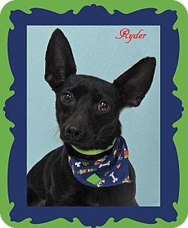 Italian Greyhound/Chihuahua Mix Dog for adoption in Hillsboro, Texas - Ryder