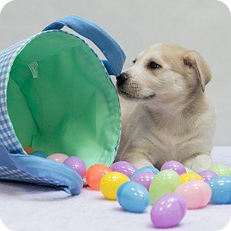 Shepherd (Unknown Type)/Husky Mix Puppy for adoption in Houston, Texas - Cougar
