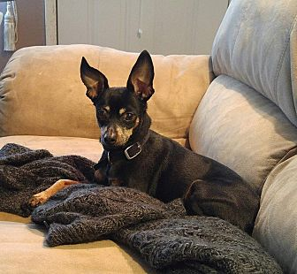 Miniature Pinscher Dog for adoption in Richmond, Kentucky - Tasha