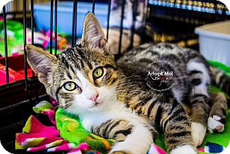 Domestic Shorthair Kitten for adoption in Charlotte, North Carolina - A..  Gordon