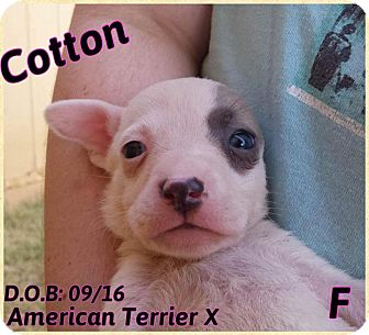 American Pit Bull Terrier Mix Puppy for adoption in DeForest, Wisconsin - Cotton