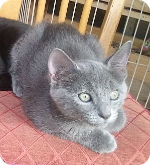 Domestic Mediumhair Kitten for adoption in Yorba Linda, California - Smokey