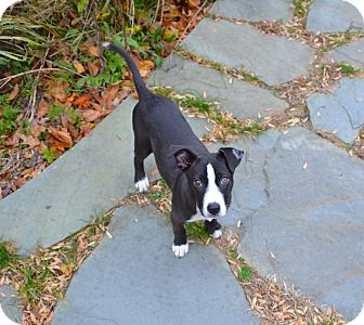 Husky/Pit Bull Terrier Mix Puppy for adoption in Reisterstown, Maryland - Kona