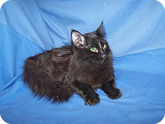 Domestic Longhair Cat for adoption in Colorado Springs, Colorado - Dennis