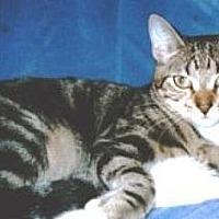 Domestic Shorthair Cat for adoption in Miami, Florida - Tiggerluv