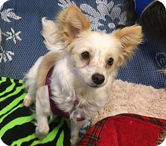 Papillon/Terrier (Unknown Type, Small) Mix Dog for adoption in Phoenix, Arizona - Chloe