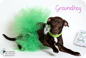 Mixed Breed (Medium) Mix Dog for adoption in Covington, Louisiana - Groundhog