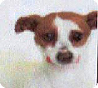 Rat Terrier Mix Dog for adoption in Spokane, Washington - Hunter