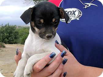 Rat Terrier/Chihuahua Mix Puppy for adoption in Corona, California - SAMMY