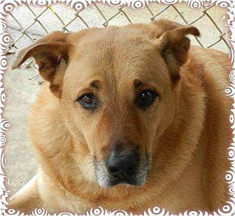 Golden Retriever/Labrador Retriever Mix Dog for adoption in Ozark, Alabama - Gino