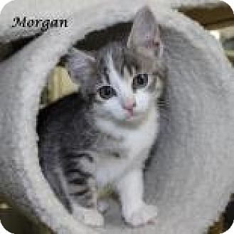 Domestic Shorthair Kitten for adoption in Madisonville, Tennessee - Morgan
