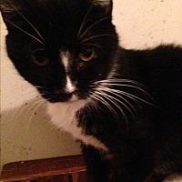 Domestic Shorthair Cat for adoption in Ridge, New York - NOELLE