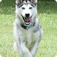 Adopt A Pet :: Akira - Jupiter, FL