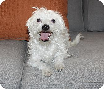 Terrier (Unknown Type, Small)/Poodle (Miniature) Mix Dog for adoption in Henderson, Nevada - Khloe