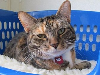 Domestic Shorthair Cat for adoption in Cumberland, Maine - Bea