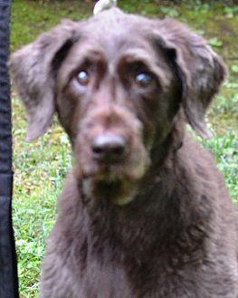 Labrador Retriever/Poodle (Standard) Mix Dog for adoption in White Plains, New York - Missy