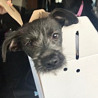 Adopt A Pet :: Benny - Austin, TX