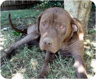 Labrador Retriever/Shar Pei Mix Dog for adoption in Sacramento, California - Marilyn - adpt pend!