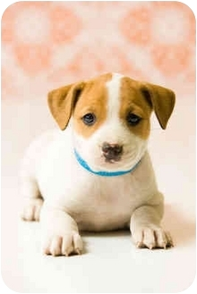 Boxer/Pit Bull Terrier Mix Puppy for adoption in Portland, Oregon - Yin